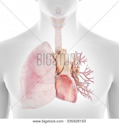 3d rendered medically accurate illustration of the human heart and lungs