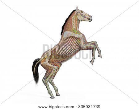 3d rendered medically accurate illustration of the equine anatomy