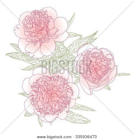 Three Blooming Peonies On A White Background