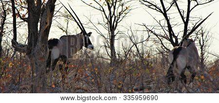 Two Beautiful Oryx Antelopes In Bushland In Etosha Nationalpark, Namibia