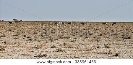 Herd Of Zebras Standing In The Endless Wide Bushland Of Etosha Nationalpark