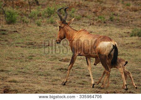 Red Hartebeest, Alcelaphus Buselaphus Caama Or Alcelaphus Caama Mother With Her Baby, Walking In Dry