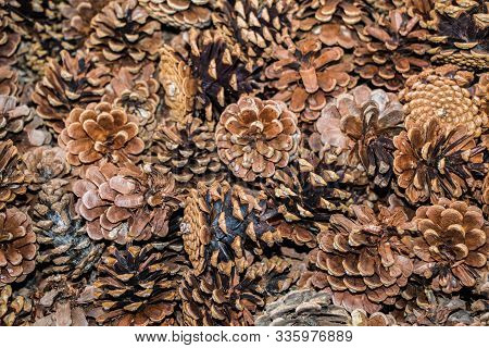 Plenty Of Pine Cones  As A Nature Background