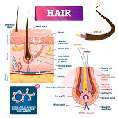 Hair anatomy structure diagram vector illustration. Skin layers cross section with dermal papilla, follicle, glands and blood flow. Hair bulb scheme with membrane matrix, melanocyte and root sheath. poster