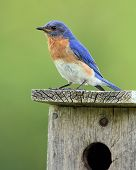 Male Eastern Bluebird (Sialia sialis) perched on a nest box - Ontario, Canada poster