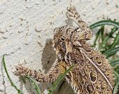 A Close Up of a Texas Horned Lizard's Head and Claws Against a Stucco Wall poster