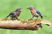 Female Eastern Bluebird (Sialia sialis) with her baby poster