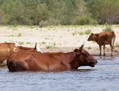 Cows drinking and swimming at a riverbank poster