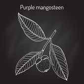 Purple mangosteen Garcinia mangostana , eatable and medicinal plant. Hand drawn botanical vector illustration poster