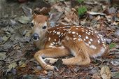 White-tailed Deer (Odocoileus virginianus) Fawn just a little over an hour old poster