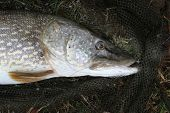 Head of large Pike caught in winter in commercial angling lake.. poster