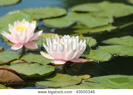 Floating Lilly