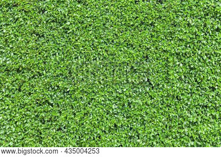 Long Green Hedge Or Green Leaves Wall. Green Grass Wall Texture For Backdrop Design And Eco Wall And
