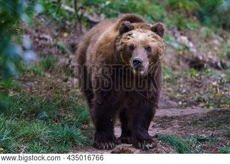 Kamchatka Brown Bear In The Forest, Ursus Arctos Beringianus
