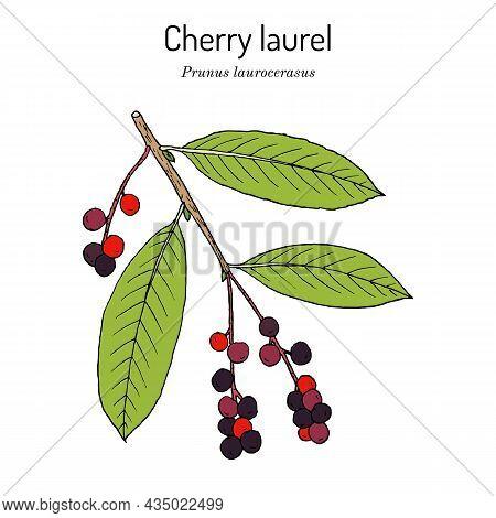 English, Or Cherry Laurel Prunus Laurocerasus , Medicinal Plant. Hand Drawn Botanical Vector Illustr