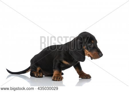 beautiful teckel dachshund puppy looking to side from a side view position and sitting isolated on white background