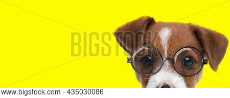 landscape of a cute jack russell terrier dog wearing eyeglasses and being shy on yellow background
