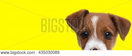 landscape of an adorable jack russell terrier dog looking at the camera on yellow background
