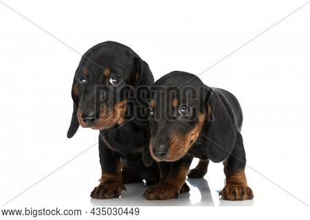 adorable cute teckel dachshund puppies looking away and standing isolated on white background in studio