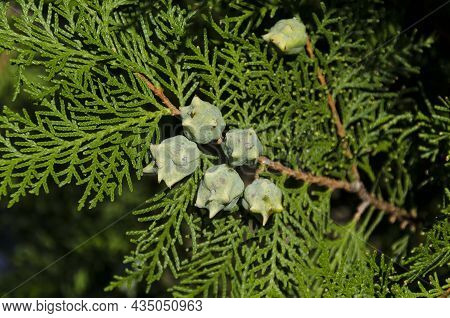 Close-up Image Of A Twig Of A Common Cypress With Fruit, Sofia, Bulgaria