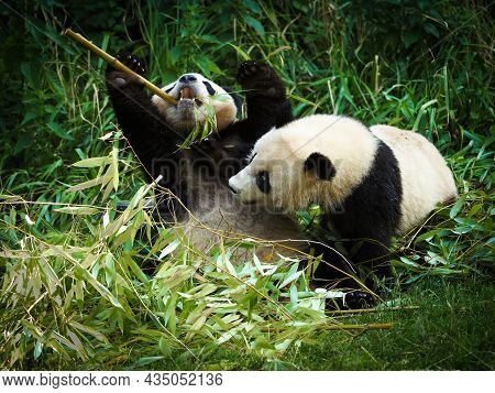 Big Panda Is Eating Bamboo. Species Animal From China. Portrait Of Panda. Animal In Nature. Two Big