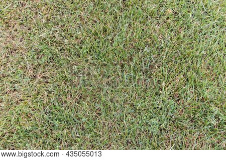 Green Grass Texture For Background. Green Lawn. Sample. Close-up