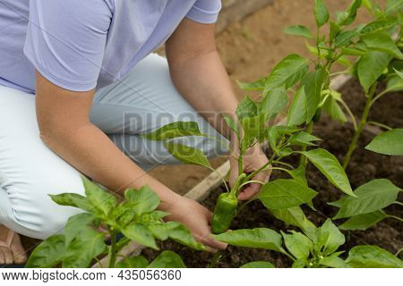 Farmer Woman Inspects Fresh Peppers In A Greenhouse. The First Fruits Of The Peppers. Checking Tomat