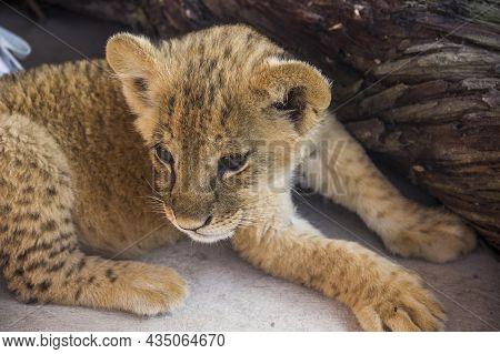 Close-up Of A Small Cute Lion Cub (panthera Leo)