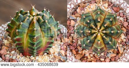 Sepia Color Of Gymnocalycium Mihanovichii Is A Type Of Cactus Or Succulents Tree That Is Bred From T