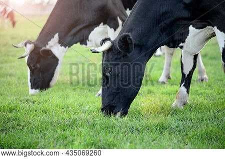 Cows In The Rays Of The Sun Graze On A Pasture With Green Fresh Grass Close-up. The Concept Of Envir