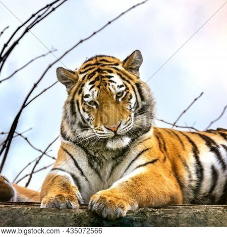 Siberian or Amur tiger resting . This endangered species of tiger is indigenous to far eastern Russia. This is a young adult male.