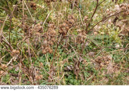 Greater Burdock. Dry Spines Of Greater Burdock. Arctium Lappa