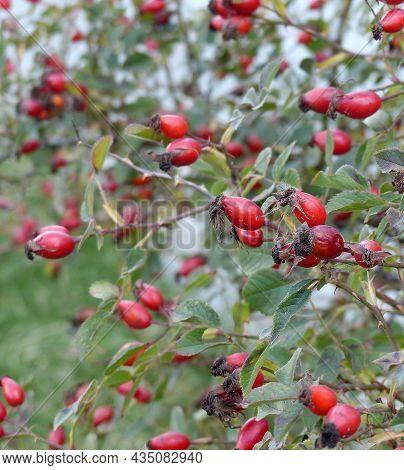 Rosehip Berries Ripening In Autumn,ripe Berries On Rosehip Plant To Make Jam,