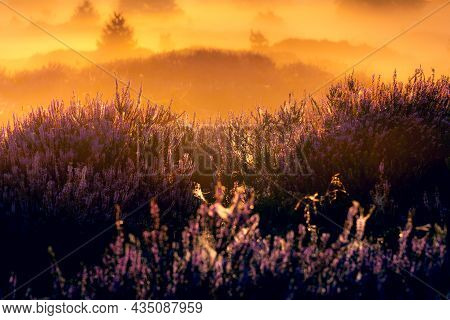Pink Heather In Bloom, Blooming Heater Landscape In The National Park: Aekingerzand, Netherlands. Ho