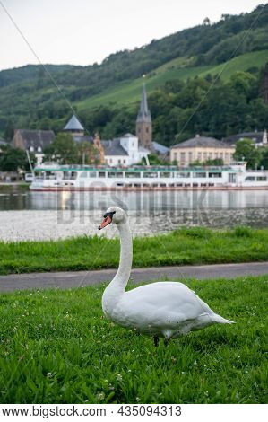 White Adult Swan Bird Grazing Green Grass On Mosel River With View On Trarbach Town, Germany