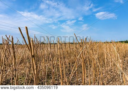 Rapeseed Was Removed From The Fields. A Field Of Rapeseed. Agricultural Field After Harvesting. A Fi