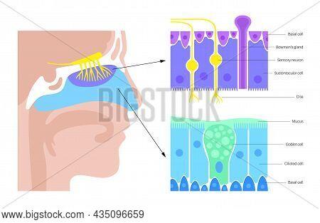 Human Nasal Cavity Anatomical Poster. Olfactory Nerve, Respiratory Epithelium, Smell Receptors And F