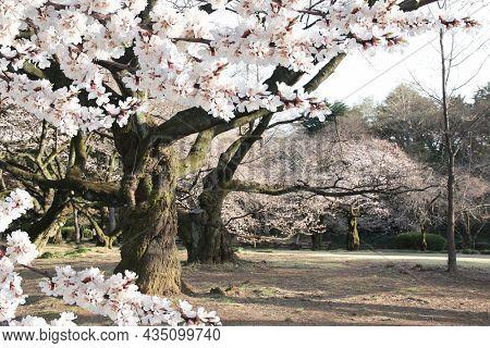 Blooming sakura trees in Shinjuku Gyoen national garden, Shinjuku district, Tokyo, Japan. Japanese hanami festival when people enjoy sakura blossom. Cherry blossoming season in Japan