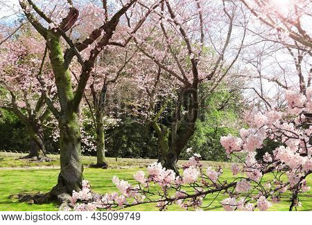 Japanese hanami festival when people enjoy sakura blossom. Cherry blossoming season in Japan. Blooming sakura trees in Koishikawa Korakuen garden, Okayama, Japan