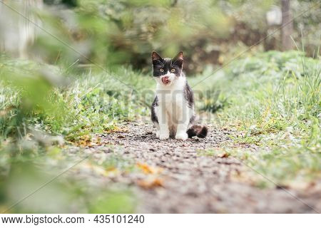 Small Black And White Kitten 4 Months Old Sits On Path And Licks Its Lips Among Blurred Green Grass
