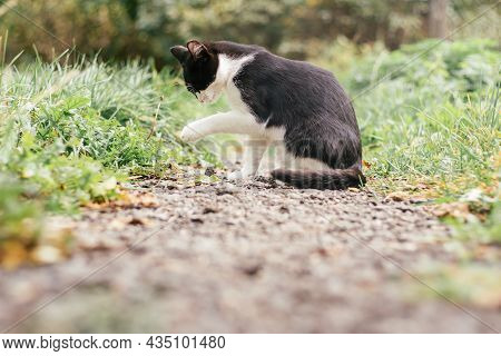 Small Black And White Kitten 4 Months Old Sits On Path And Licks Its Paw Among Blurred Green Grass