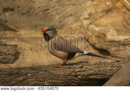 The Long-tailed Finch (poephila Acuticauda) In Zoo.
