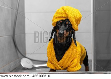 Beautiful Dachshund Puppy In Yellow Bathrobe And With Towel Wrapped Around Its Head Like A Turban St