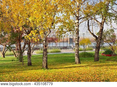 Birches Of The Ob River Embankment. Autumn Foliage On Trees And Lawn, Railway Bridge In The Distance