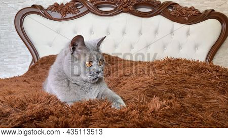 Grey British Cat With Yellow Eyes Lying On Bed