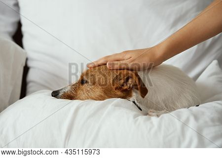 Hand Petting Dog While Lying At The Bed. Pet Resting At Home. Jack Russell Terrier Relaxing