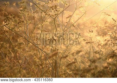 Sunset In The Summer Evening. An Abstract Picture With Plants Of A Wild Meadow In Golden Tones.