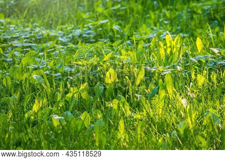 Green Summer Meadow Close-up With Bright Sunlight. Sunny Spring Or Summer Background. Fresh Green Gr