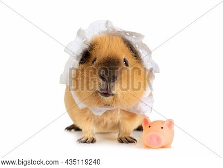 Amusing Red Haired Guinea Pig In A Sleeping Cap With A Little Toy Pig In Front Of White Background