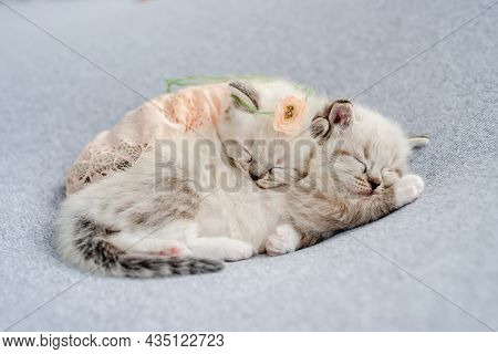 Two adorable little ragdoll kittens sweety sleeping together swaddled in knitted peach blanket with flower on its head during newborn style photoshoot in studio. Cute kitty cats portrait